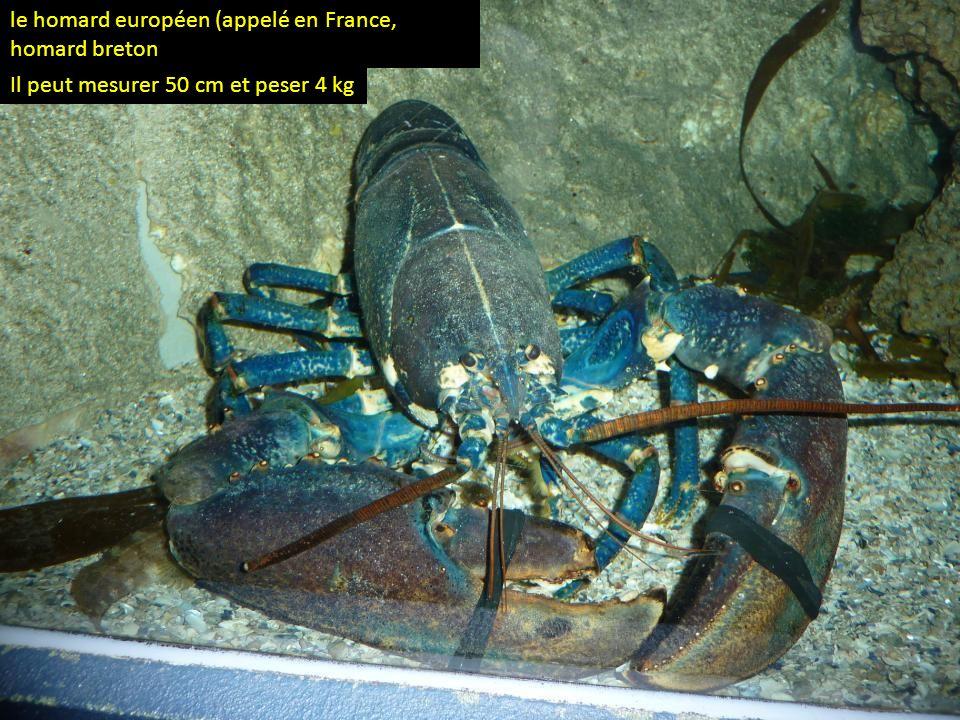 le homard européen (appelé en France, homard breton