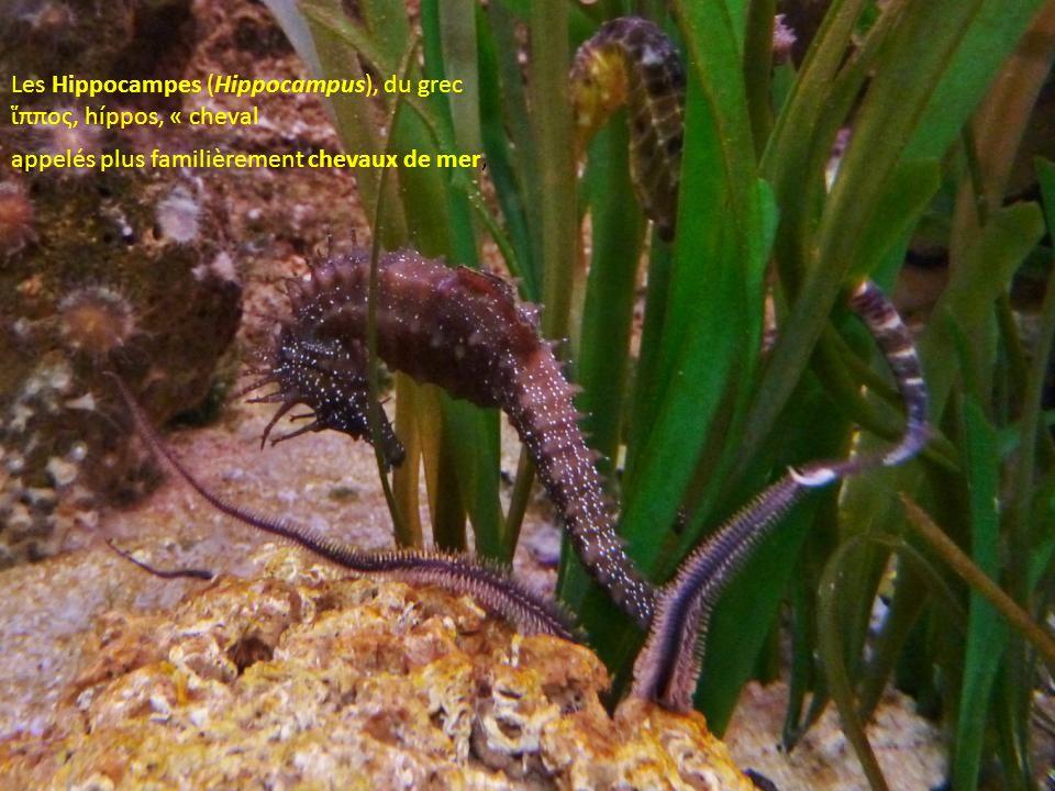 Les Hippocampes (Hippocampus), du grec ἵππος, híppos, « cheval