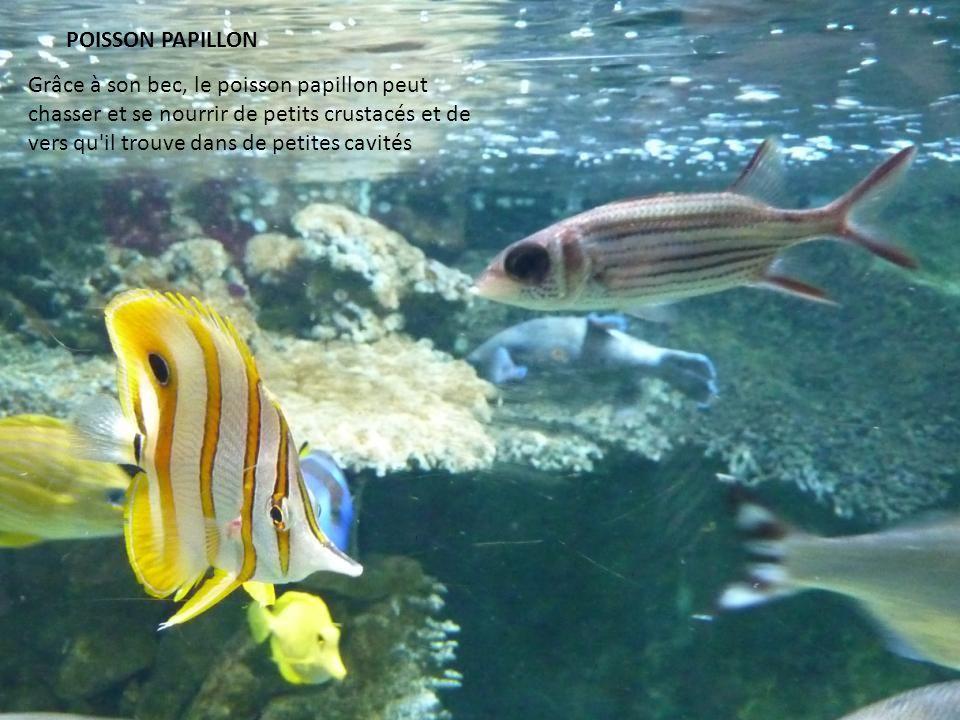 POISSON PAPILLON Grâce à son bec, le poisson papillon peut chasser et se nourrir de petits crustacés et de vers qu il trouve dans de petites cavités.
