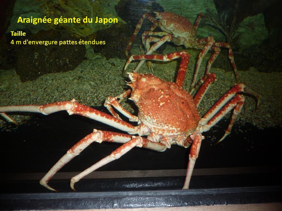 Araignée géante du Japon