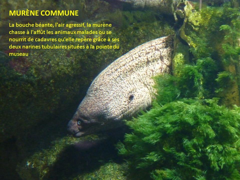 MURÈNE COMMUNE