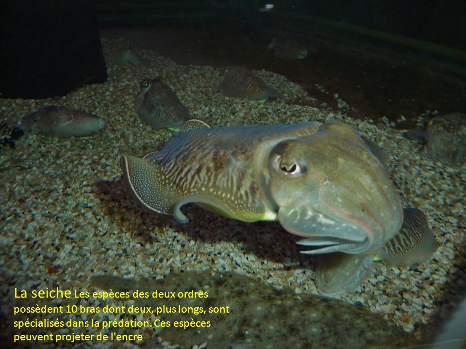 La seiche Les espèces des deux ordres possèdent 10 bras dont deux, plus longs, sont spécialisés dans la prédation.