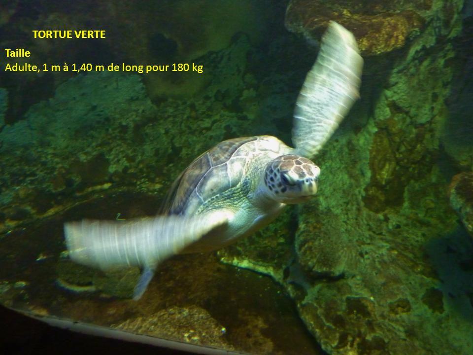 TORTUE VERTE Taille Adulte, 1 m à 1,40 m de long pour 180 kg