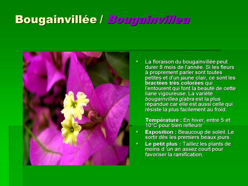 Bougainvillée / Bougainvillea