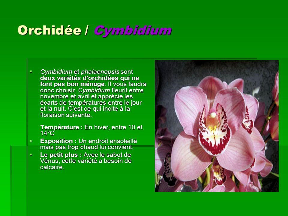 Orchidée / Cymbidium