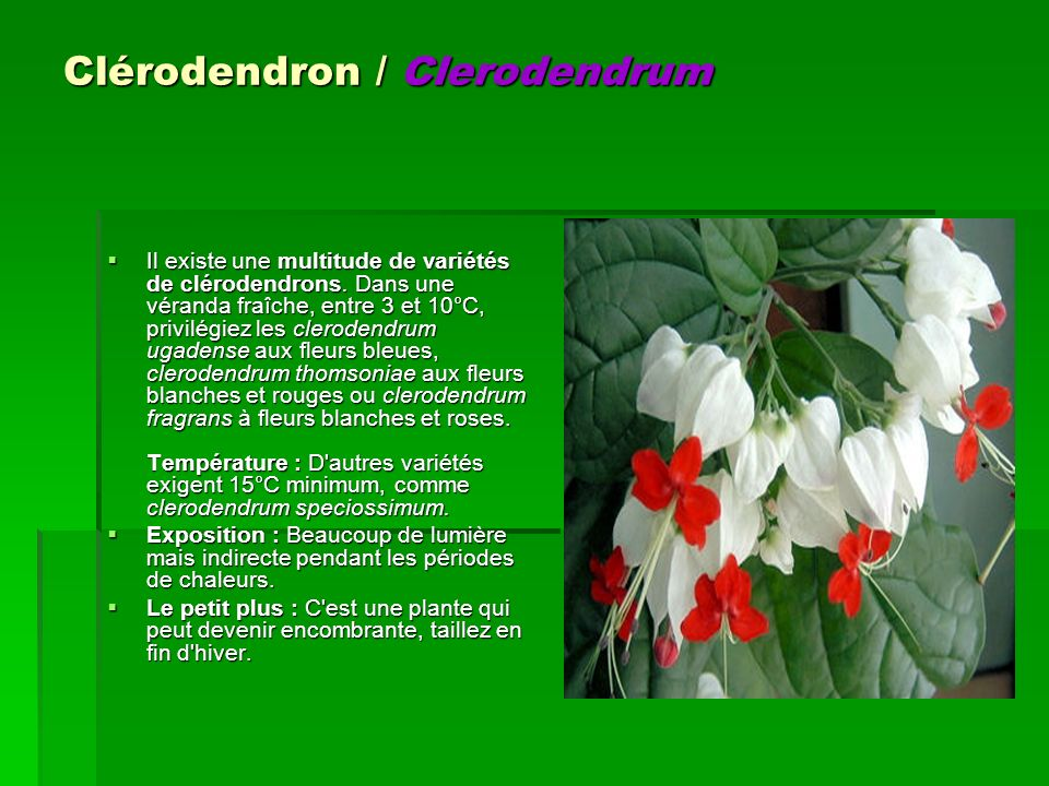 Clérodendron / Clerodendrum