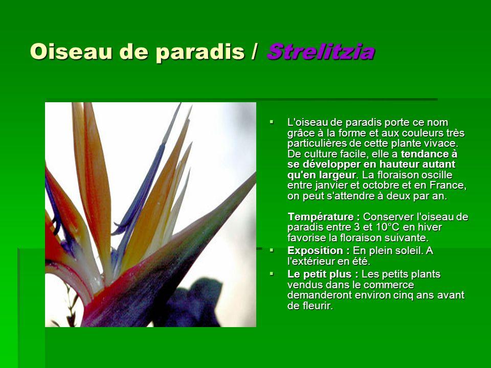 Oiseau de paradis / Strelitzia