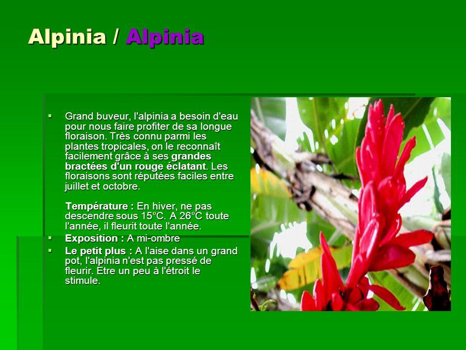 Alpinia / Alpinia