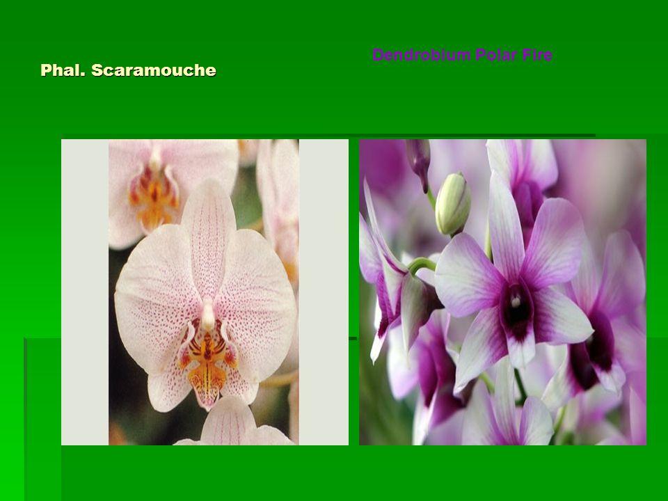 Dendrobium Polar Fire Phal. Scaramouche
