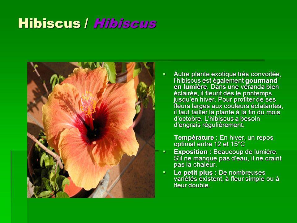 Hibiscus / Hibiscus