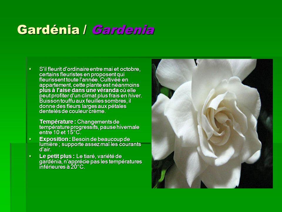 Gardénia / Gardenia