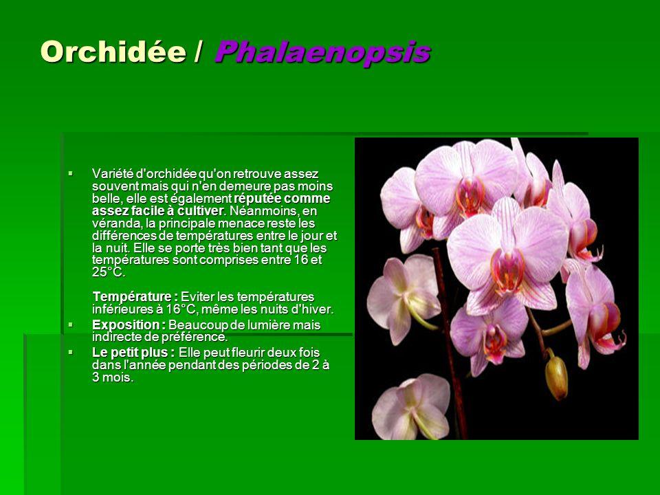 Orchidée / Phalaenopsis