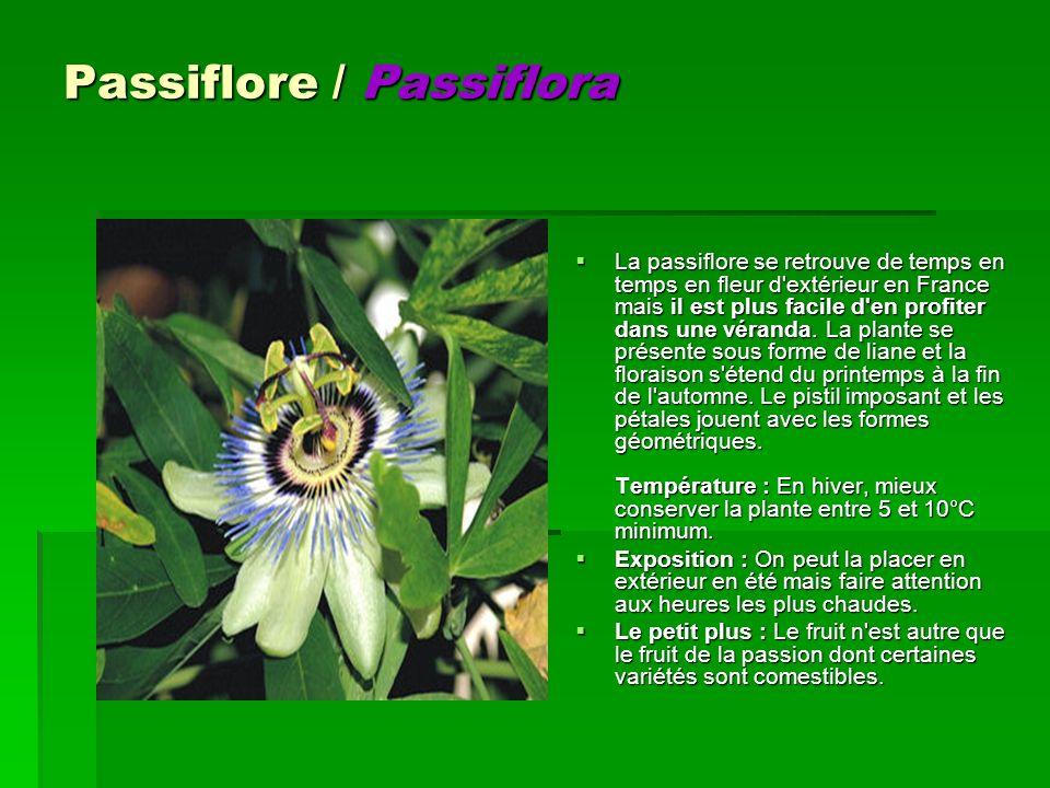 Passiflore / Passiflora