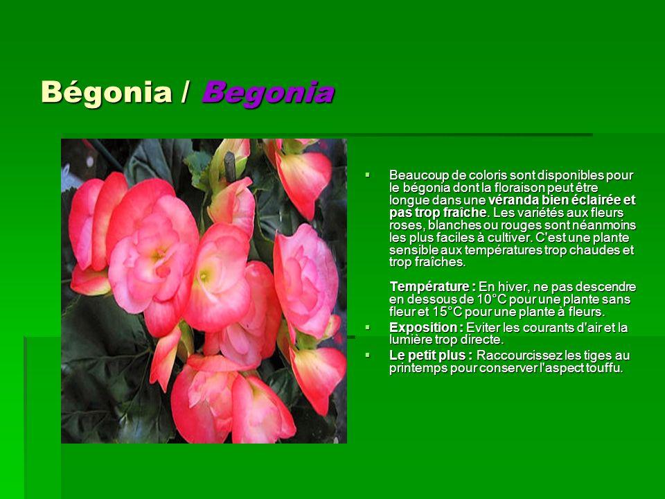 Bégonia / Begonia