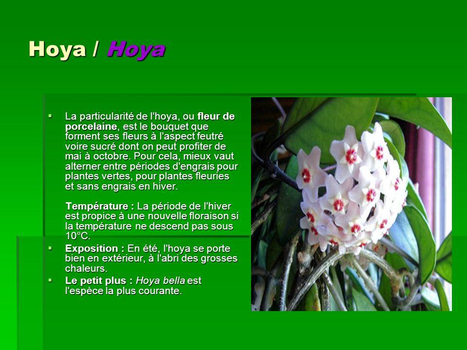 Hoya / Hoya
