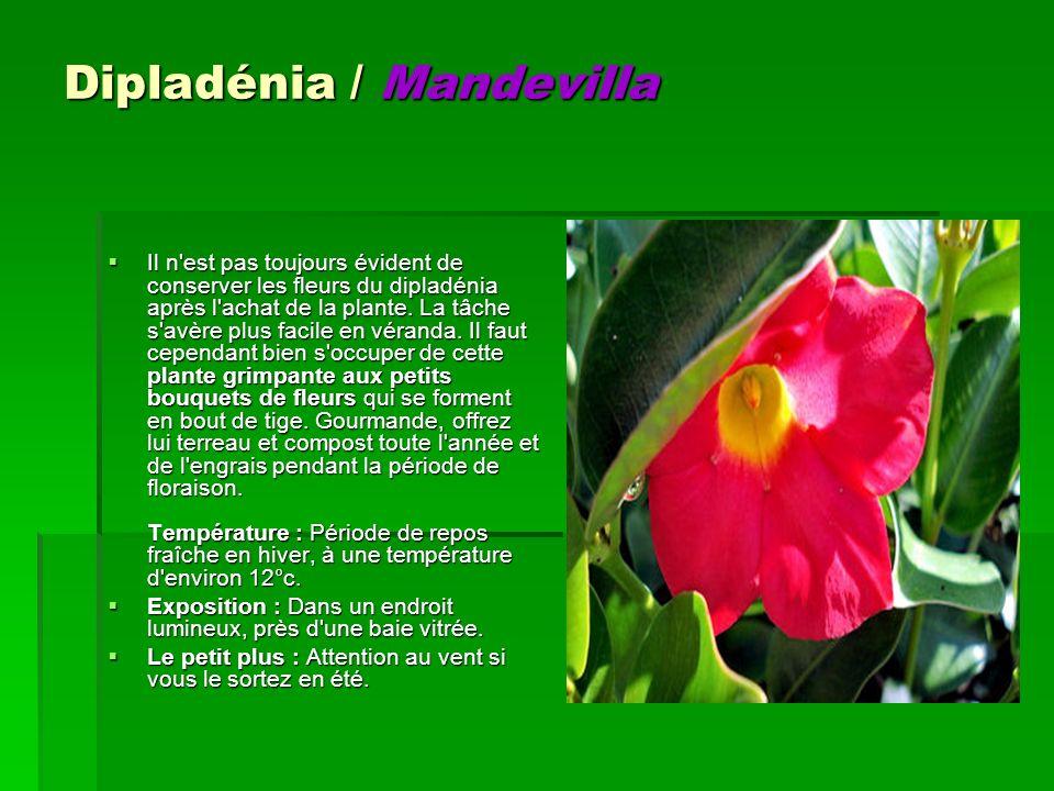 Dipladénia / Mandevilla