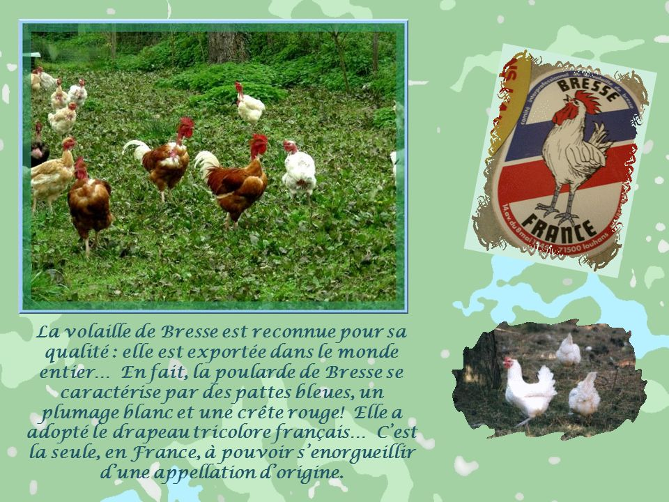 La volaille de Bresse est reconnue pour sa qualité : elle est exportée dans le monde entier… En fait, la poularde de Bresse se caractérise par des pattes bleues, un plumage blanc et une crête rouge.