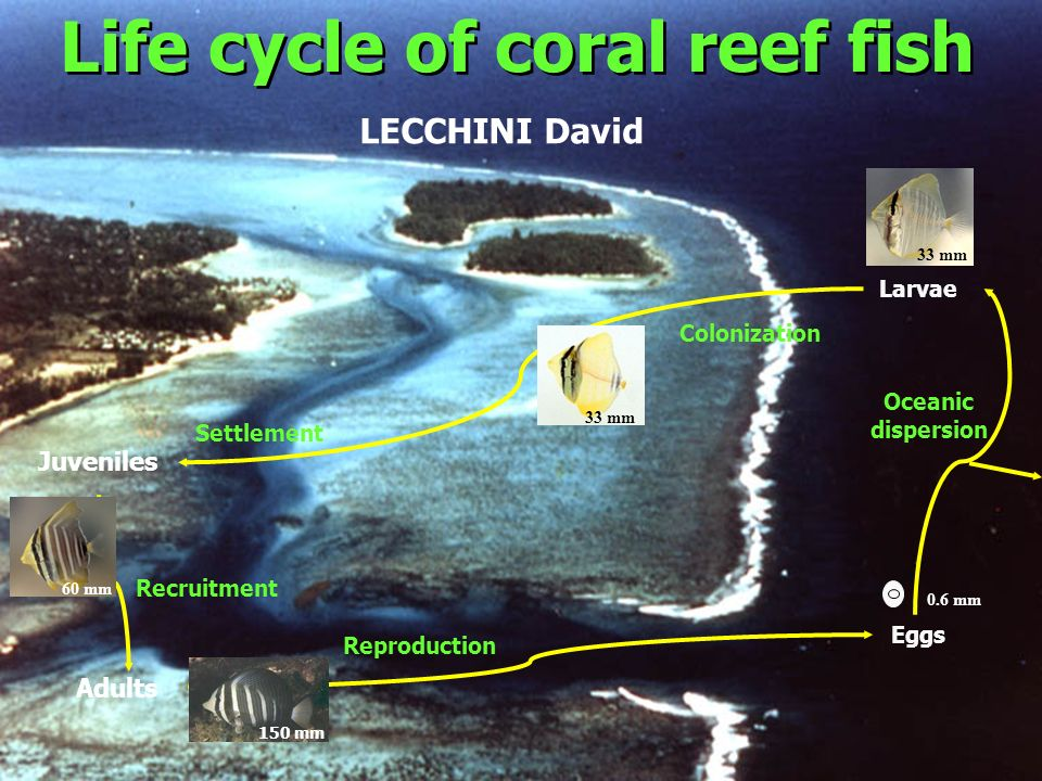 Life cycle of coral reef fish