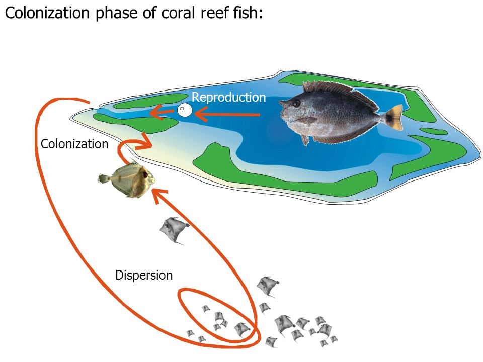 Colonization phase of coral reef fish: