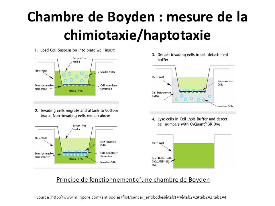 Chambre de Boyden : mesure de la chimiotaxie/haptotaxie