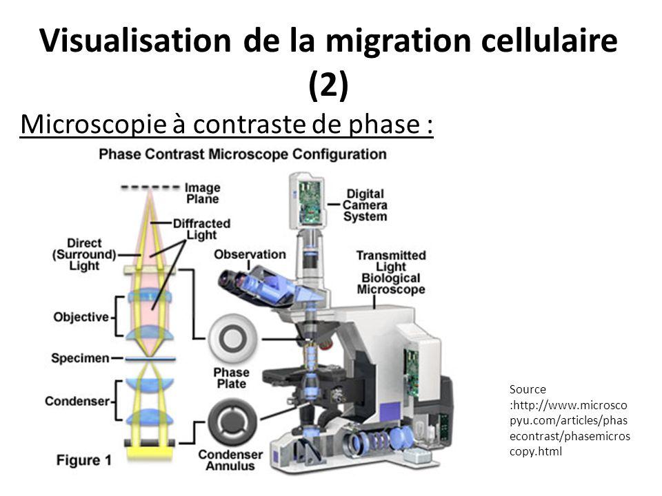 Visualisation de la migration cellulaire (2)