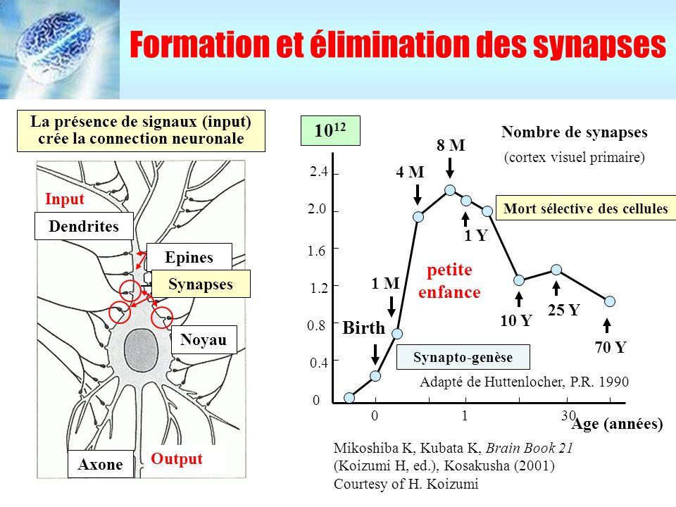 Formation et élimination des synapses