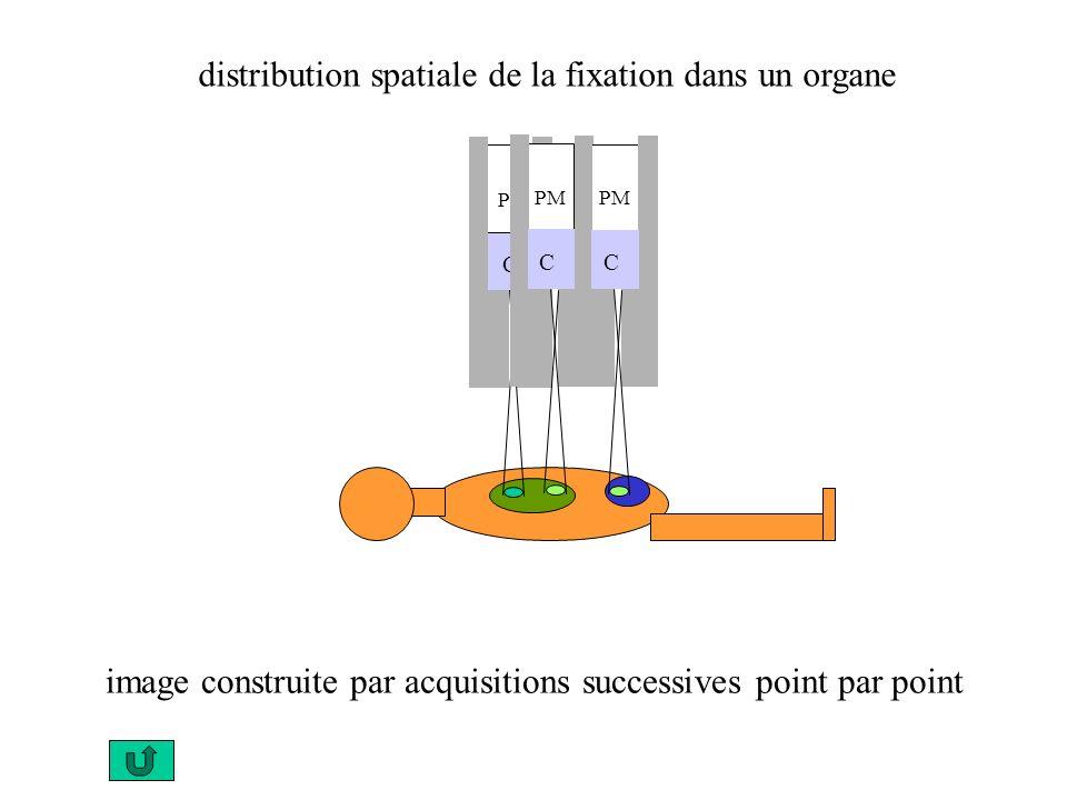 distribution spatiale de la fixation dans un organe