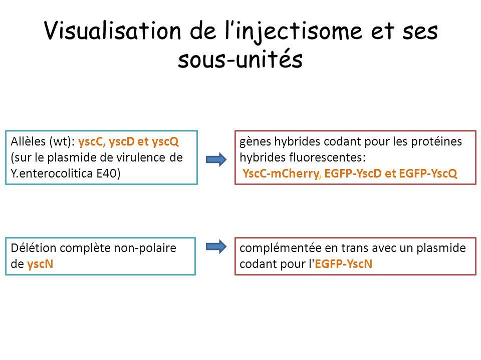 Visualisation de l'injectisome et ses sous-unités