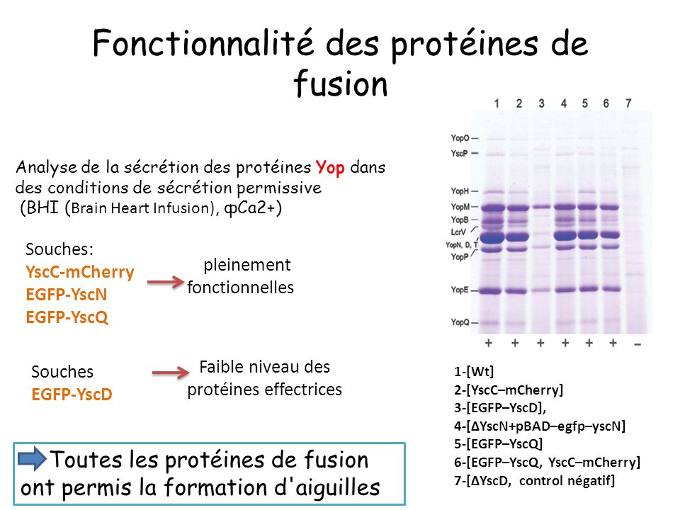 Fonctionnalité des protéines de fusion