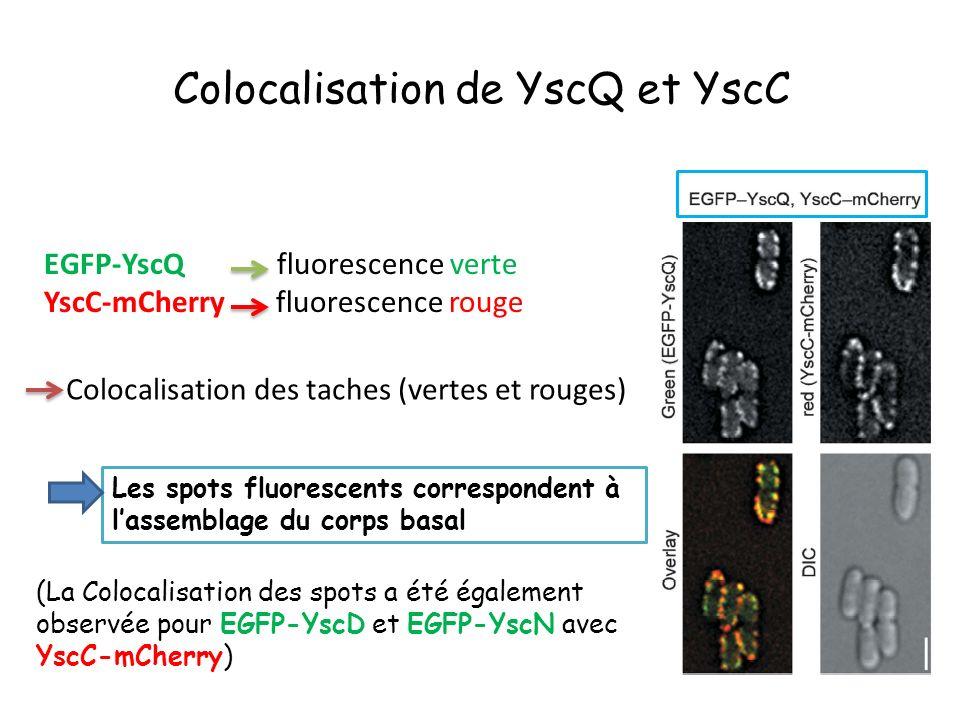 Colocalisation de YscQ et YscC