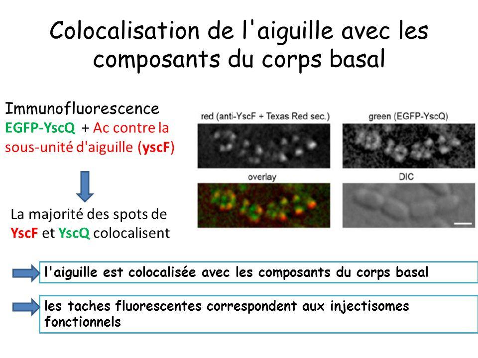 Colocalisation de l aiguille avec les composants du corps basal