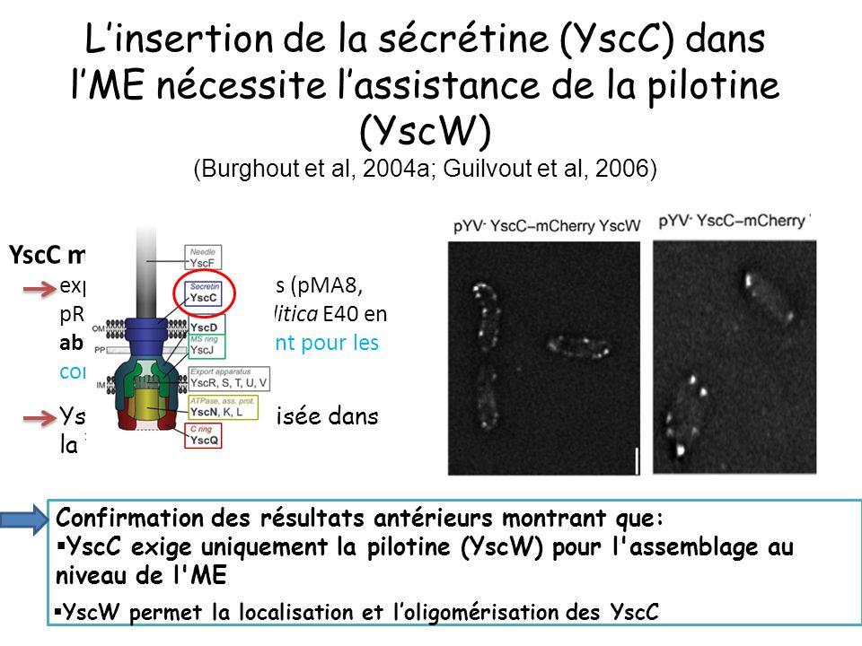 L'insertion de la sécrétine (YscC) dans l'ME nécessite l'assistance de la pilotine (YscW) (Burghout et al, 2004a; Guilvout et al, 2006)
