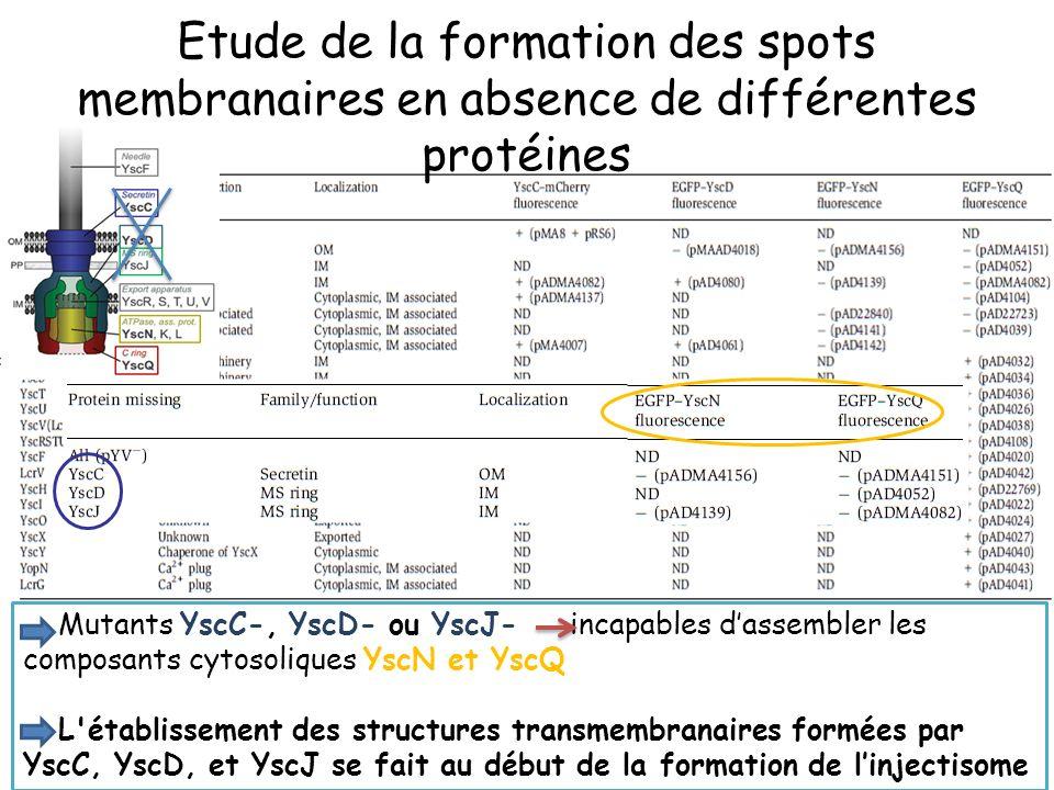 Etude de la formation des spots membranaires en absence de différentes protéines