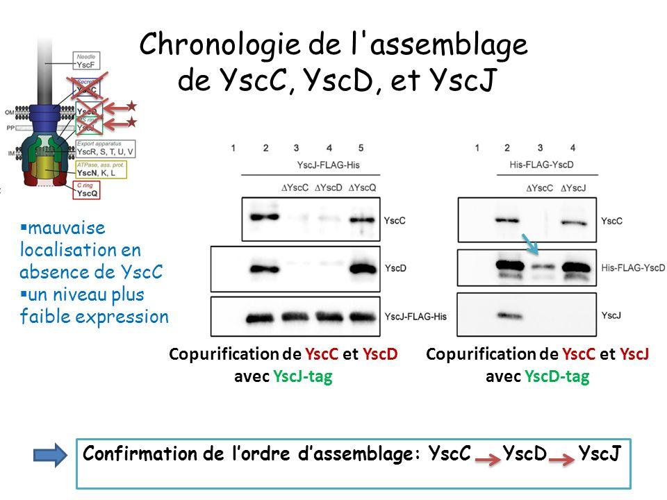 Chronologie de l assemblage de YscC, YscD, et YscJ
