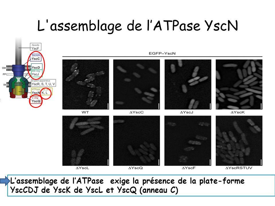 L assemblage de l'ATPase YscN