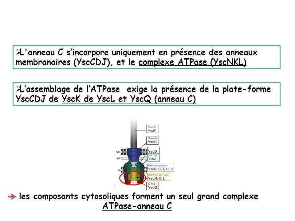 les composants cytosoliques forment un seul grand complexe