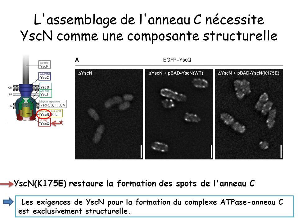L assemblage de l anneau C nécessite YscN comme une composante structurelle
