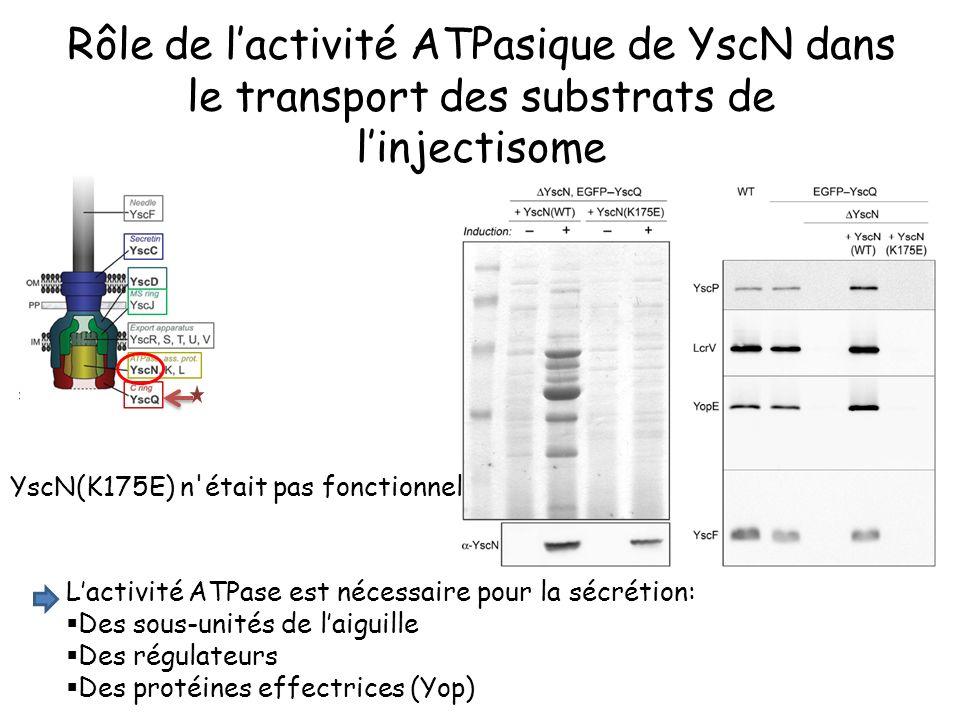 Rôle de l'activité ATPasique de YscN dans le transport des substrats de l'injectisome