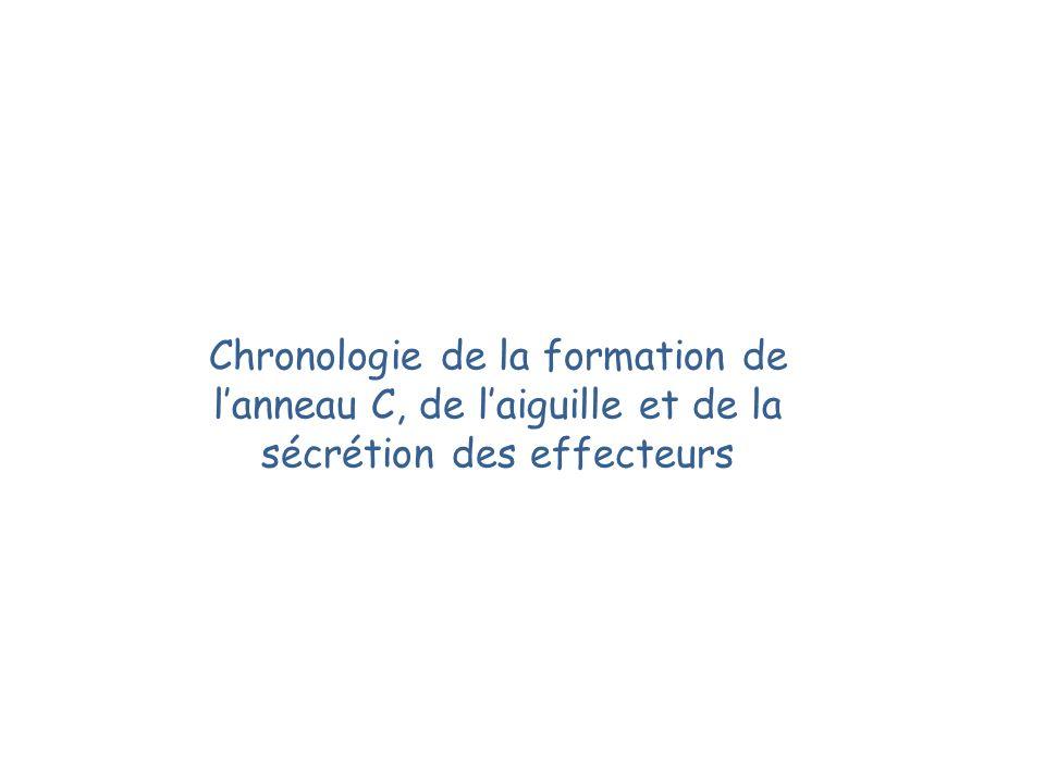 Chronologie de la formation de l'anneau C, de l'aiguille et de la sécrétion des effecteurs