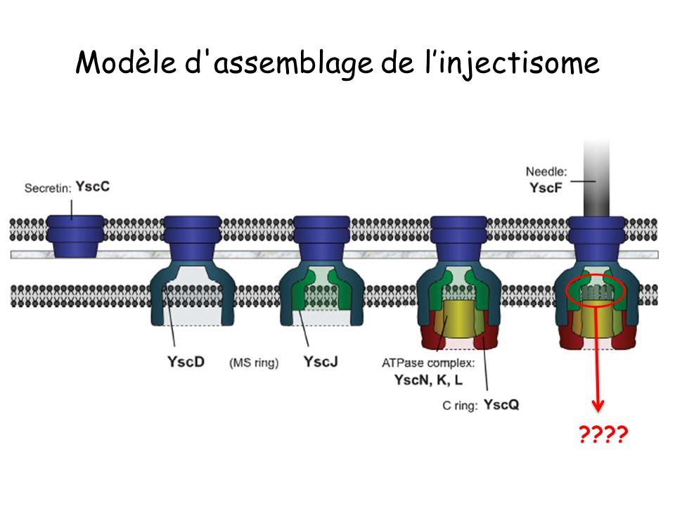 Modèle d assemblage de l'injectisome