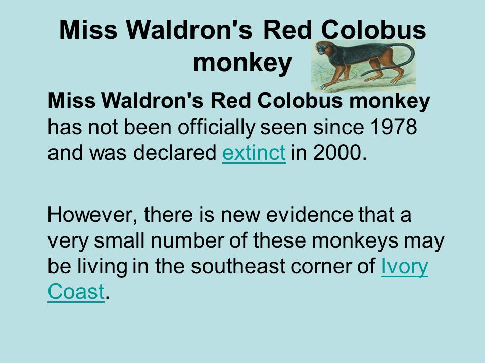 Miss Waldron s Red Colobus monkey