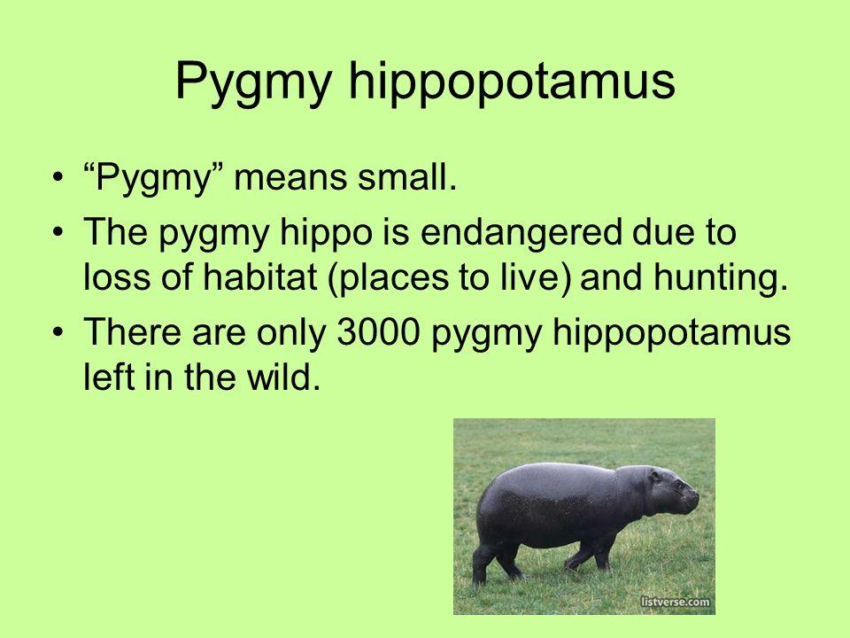 Pygmy hippopotamus Pygmy means small.