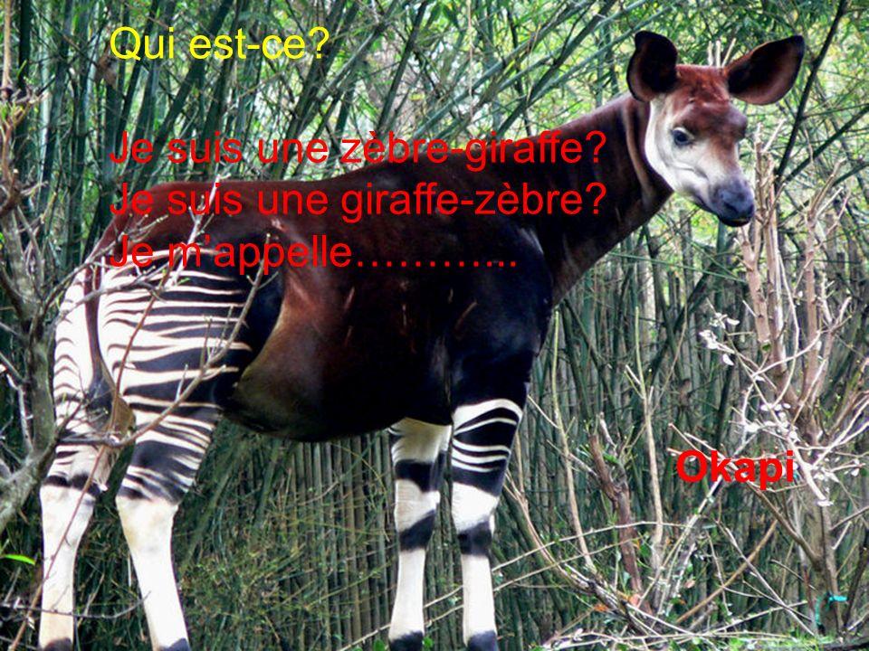 Qui est-ce Je suis une zèbre-giraffe Je suis une giraffe-zèbre Je m'appelle………... Okapi