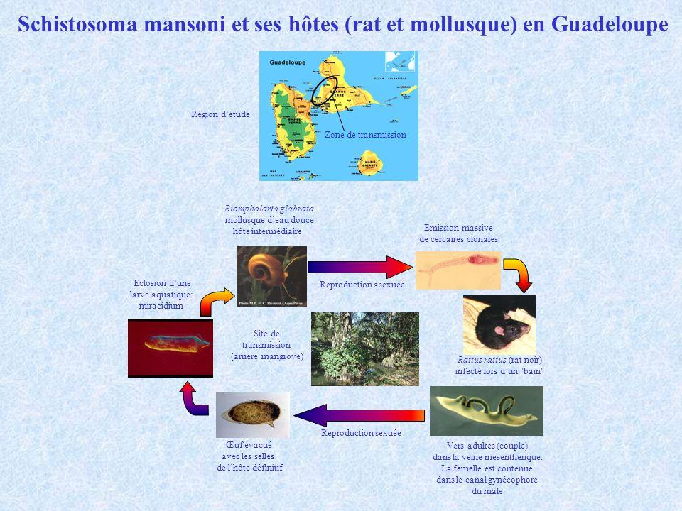 Schistosoma mansoni et ses hôtes (rat et mollusque) en Guadeloupe