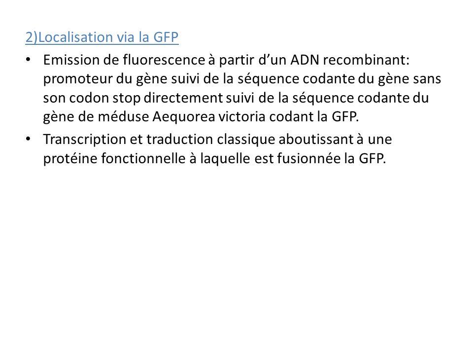 2)Localisation via la GFP