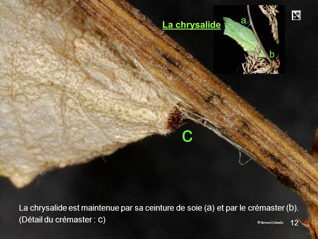 crémaster crémaster. crémaster. a. La chrysalide. b. c. La chrysalide est maintenue par sa ceinture de soie (a) et par le crémaster (b).