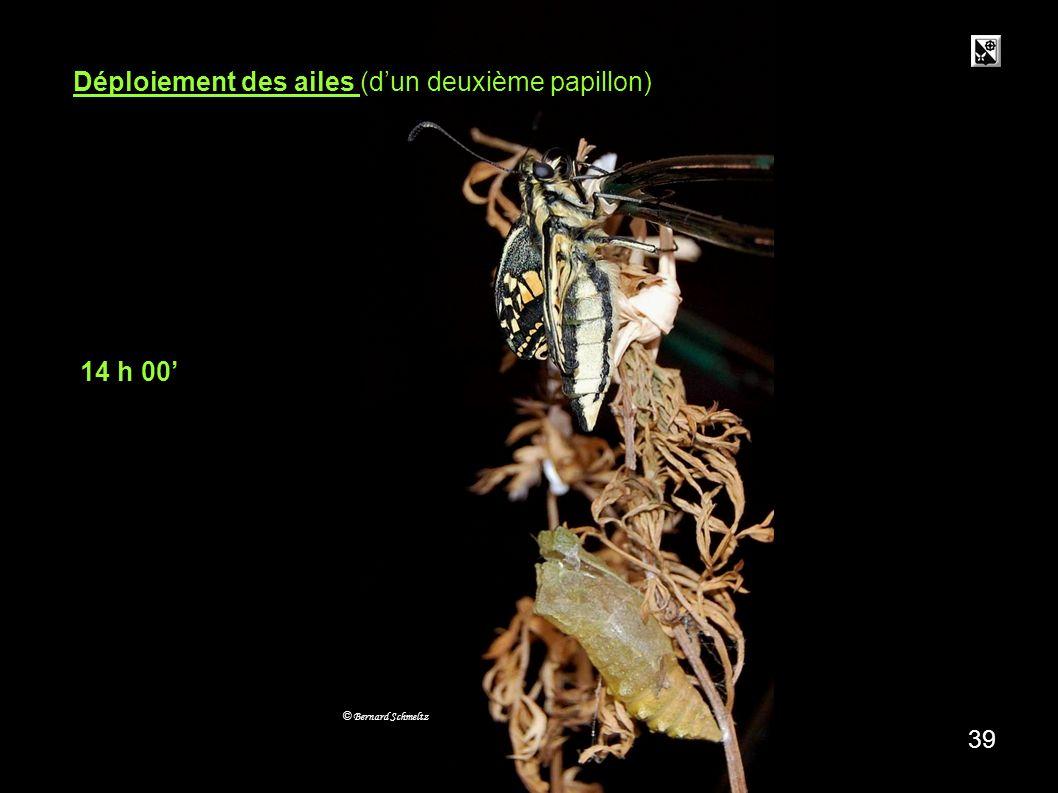 Déploiement des ailes (d'un deuxième papillon)