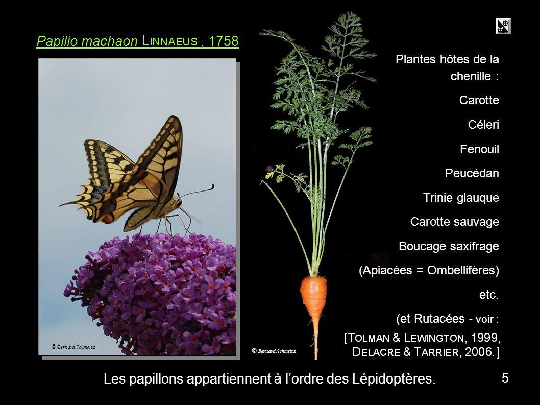 Les papillons appartiennent à l'ordre des Lépidoptères.