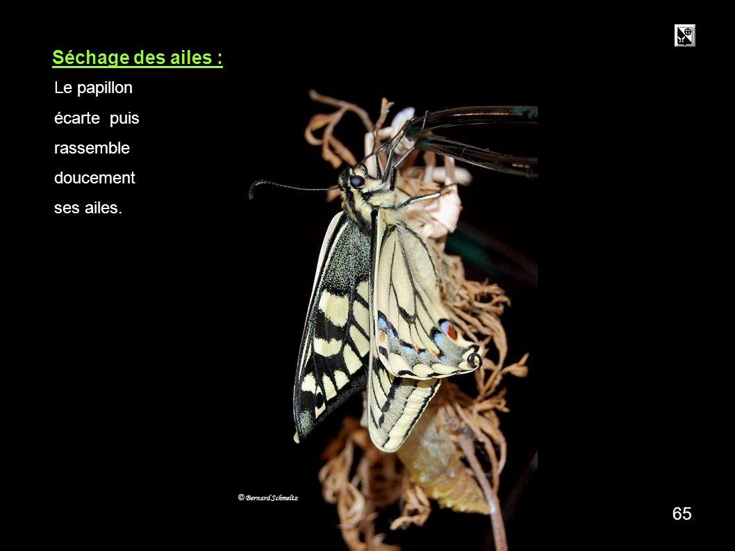 Séchage des ailes : 65 Le papillon écarte puis rassemble doucement