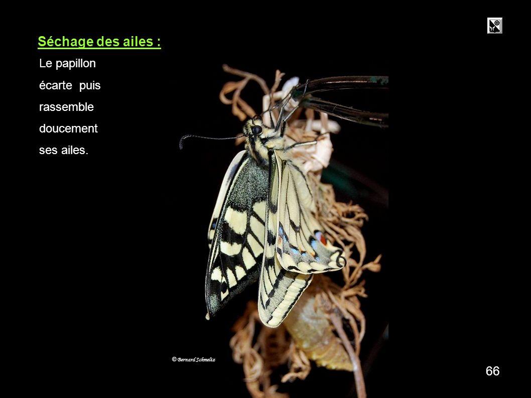 Séchage des ailes : 66 Le papillon écarte puis rassemble doucement